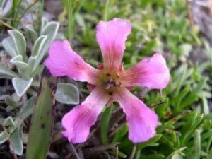цветок омоложения